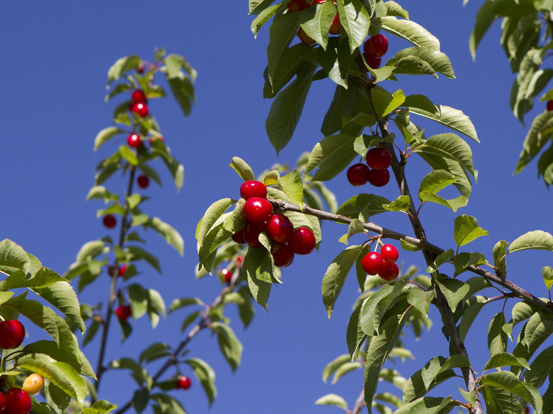 """Wayki, """"el Nuevo Sistema De Protección De Cerezas"""" Que Llegó A Europa"""